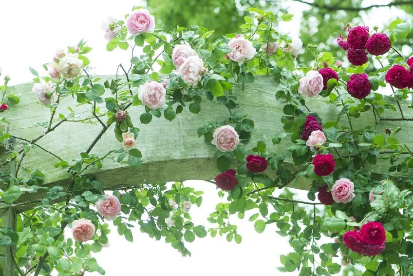 Petit guide des rosiers